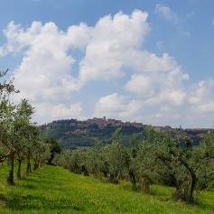 olive trees everywhere
